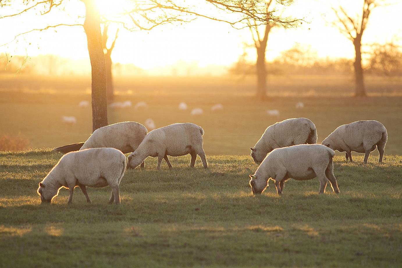 bien-être animal ovin