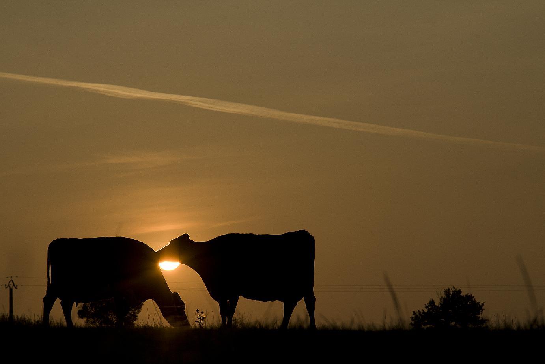 bien-être animal bovin