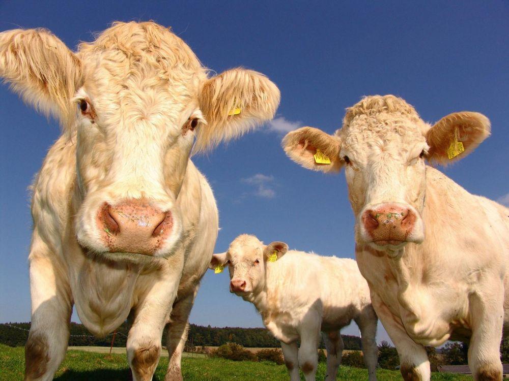 Des chercheurs veulent écouter les animaux d'élevage pour améliorer leur bien-être