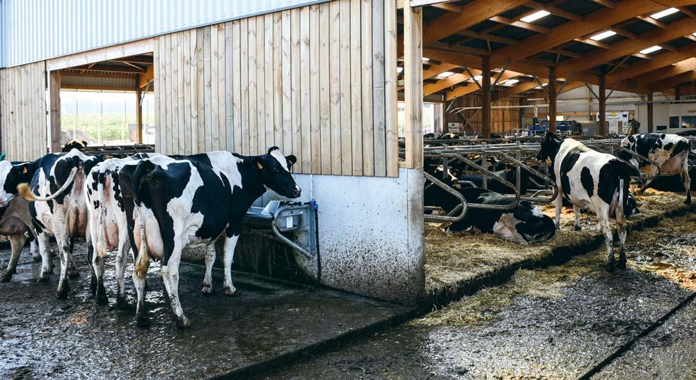 En lait, le bien-être animal bientôt évalué