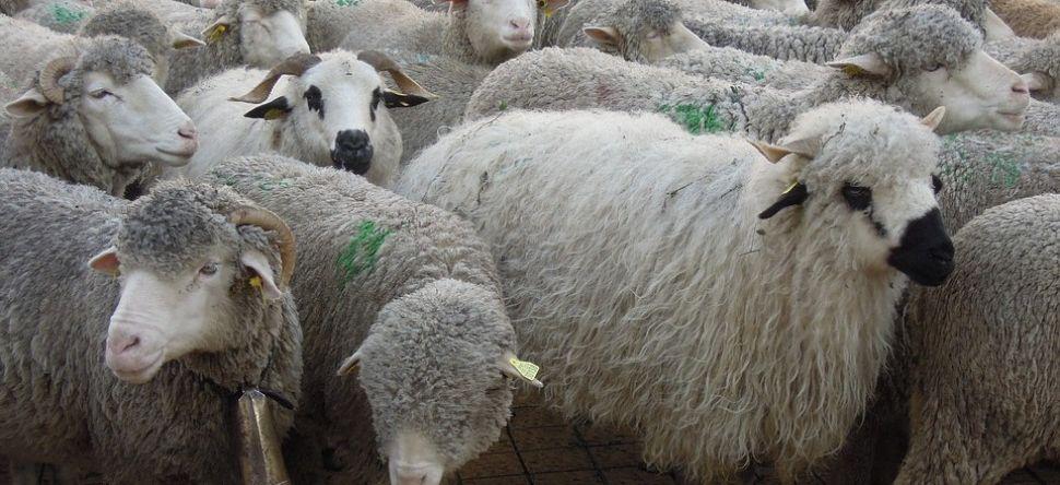 Ile-de-France : une ballade avec des moutons en banlieue, ça vous tente ?