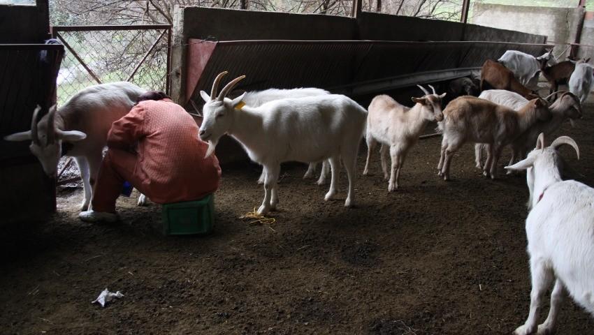 Algérie - Filière caprine - Les éleveurs en quête de modernité