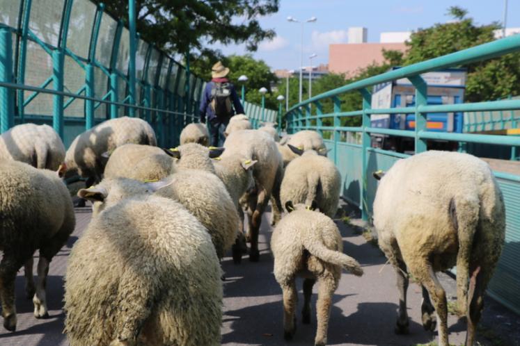 Le troupeau franchit l'A1 et l'A86 pour atteindre les prairies urbaines