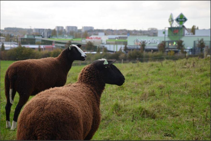 Les brebis des Moutons Bruxellois sont situées sur différentes prairies à Anderlecht et Berchem-Sainte-Agathe. Ici, elles se trouvent en face du Shopping. Photo: Eva Seker Basilix.