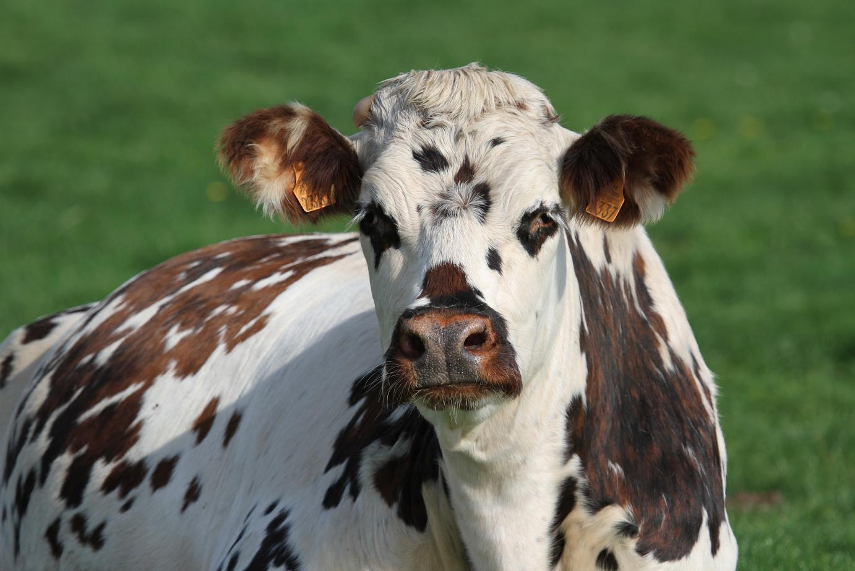 Vache normande © papinou