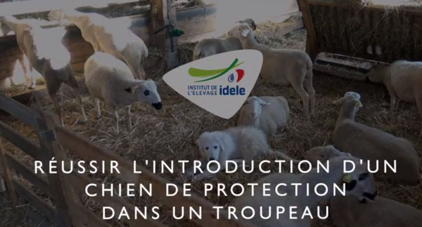 Vidéo - Réussir l'introduction d'un chien de troupeau dans un troupeau