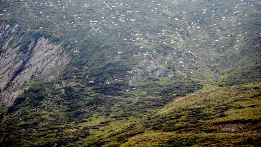 La crise du Covid-19 ne va pas empêcher les éleveurs ariégeois de mener leurs bêtes (brebis, vaches et chevaux) en estive au début du mois de juin prochain. Mais pas question pour le public de suivre la montée des troupeaux.