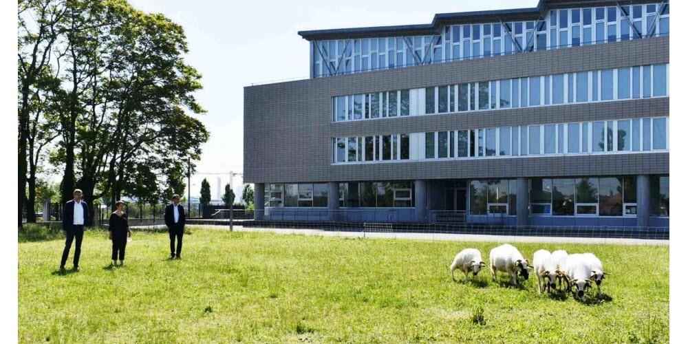L'équipe de direction au chevet d'un troupeau d'ovins… L'éco-paturâge est en marche… Photo L'Alsace /P-B.M.