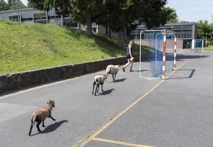Dans ce lycée, on s'occupe des moutons pendant la récré.
