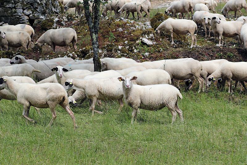 Adaptation des pratiques d'élevage au changement climatique.