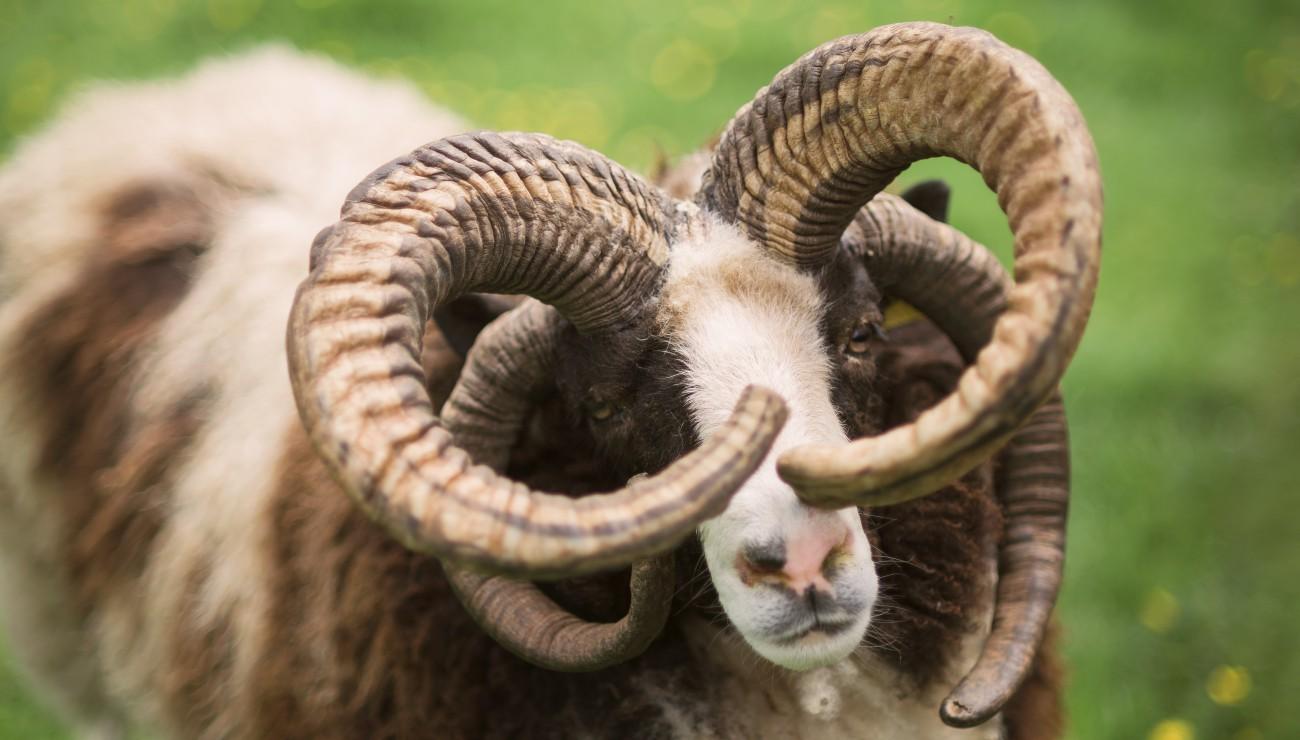 Le gène du mouton à quatre cornes.