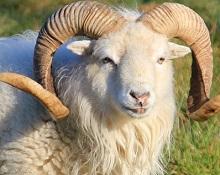 Mouton douessant