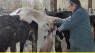 Génotyper les femelles pour un élevage laitier plus durable dans le temps.