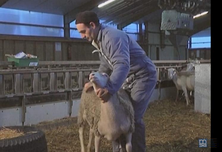 [ Vidéo ] Comment manipuler les moutons.