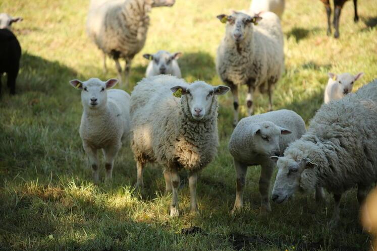 Le mouton Belle-Île récompensé par le prix de l'agrobiodiversité animale 2021.